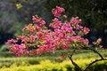 Free Flowered Tree Royalty Free Stock Photos - 779428