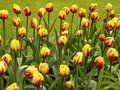 Free Tulip Field 2 Royalty Free Stock Photos - 779798