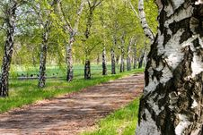 Birches Stock Image