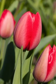 Free Tulips Royalty Free Stock Image - 770256
