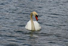 Free Swan Stock Photo - 770320