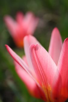 Free Tulips 3 Stock Images - 770624