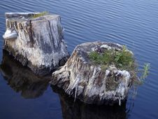 Free Two Stumps In The Water Royalty Free Stock Photography - 770917