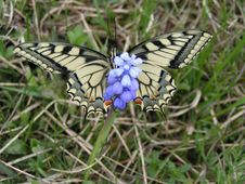 Free The Tiger Swallowtail Butterfly Royalty Free Stock Images - 771139