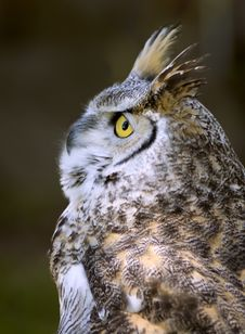 Great Horned Owl (Bubo Virginianus) Looks Up Royalty Free Stock Photography