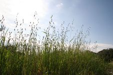 Free Tall Wheatgrass Blades Royalty Free Stock Photography - 771287