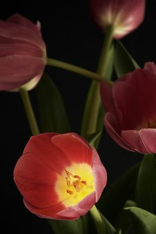 Free Tulip Bursting Out Of Darkness Stock Photography - 771692