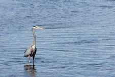 Free Great Blue Heron Royalty Free Stock Photos - 771828