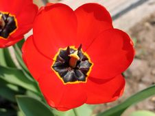 Free Tulip Royalty Free Stock Photography - 771967