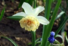 Free Narcissus. Royalty Free Stock Photos - 772208
