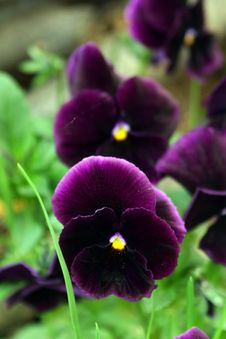 Free Pansies. Stock Photography - 772312
