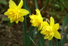 Free Narcissus. Stock Images - 772534