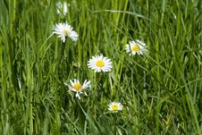 Free Daisy Royalty Free Stock Photos - 772988