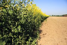 Free Rapeseed In Germany 04 Royalty Free Stock Image - 773076