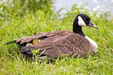 Free Mother Goose Stock Photo - 773300