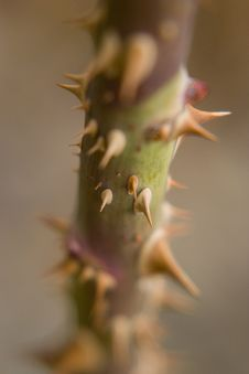 Free Thorns Stock Photography - 773302