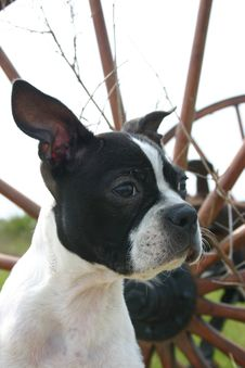 Boston Terrier In Front Of Wheel Royalty Free Stock Images