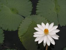 Free Water Lily With Leaves In Pond Stock Photography - 773782