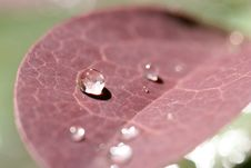 Free Dewdrops On Barberry Leaf Royalty Free Stock Photos - 774108