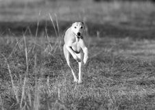 Free Whippet Running Stock Photos - 775103