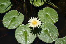 Free Lotus Stock Photos - 775463