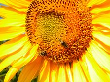 Two Bees On A Sunflower Royalty Free Stock Photography