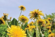 Yellow Flowers And Sky Royalty Free Stock Image