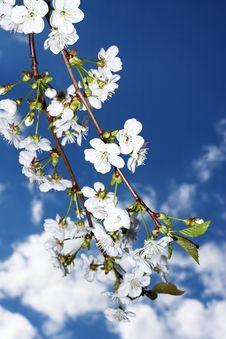 Free Cherry Tree Stock Photography - 776992