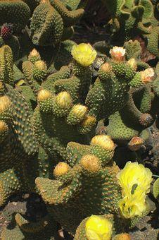 Free Cactus YellowFlowers Royalty Free Stock Image - 777076
