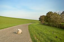 Free Sheep In The Middle Of The Road Stock Photography - 777092