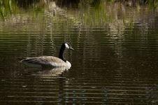 Free Canada Goose (Branta Canadensis) On Ripples Stock Photography - 777122