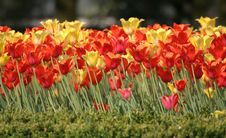 Free Tulips Royalty Free Stock Image - 777236