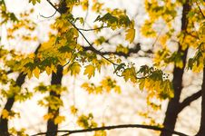 Free Maple Tree Leaves Stock Photography - 777502