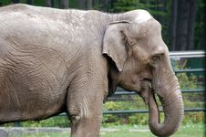 Free Indian Elephant Royalty Free Stock Photos - 778198