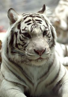 Free White Tigress Stock Photography - 778612