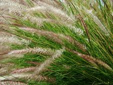 Free Native-grasses Royalty Free Stock Photo - 779085