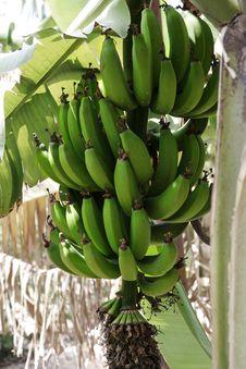 Free Banana Stock Photo - 779500