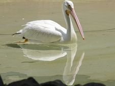 Free Pelican Swimming Royalty Free Stock Photo - 779615