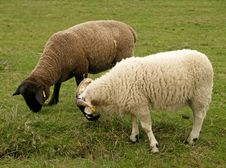 Sheeps 1 Stock Images