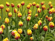Free Tulip Field 2 Royalty Free Stock Photos - 779798