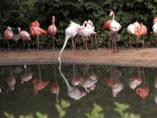 Free Flamingos Reflections! Stock Photography - 779962