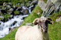 Free Sheep Herd On Mountain Plateau Stock Photography - 7704032