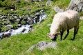 Free Sheep Herd On Mountain Plateau Royalty Free Stock Photo - 7704065