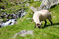 Free Sheep Herd On Mountain Plateau Royalty Free Stock Image - 7704136