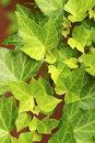 Free Ivy Leaf Pattern Royalty Free Stock Image - 7705726
