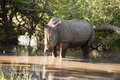 Free Rhino In Kruger Park Royalty Free Stock Image - 7705766