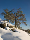 Free Pines In Winter Royalty Free Stock Image - 7706046