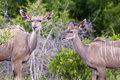 Free Kudu Mother With Her Cub Royalty Free Stock Photography - 7708517