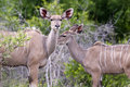 Free Kudu Mother With Her Cub Stock Images - 7708524