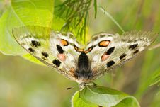 Free Nomion Butterfly Royalty Free Stock Image - 7700336